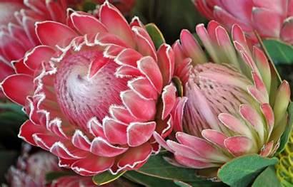 Protea Flower Flowers Pink South Proteus Proteas