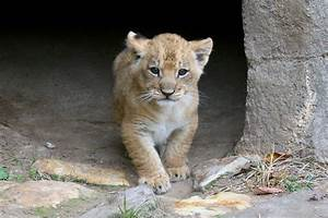 Cameron Park Zoo Welcomes Baby Lion