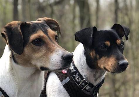 spanish dog dogs spain breeds terrier japanese popular most bodeguero via instagram