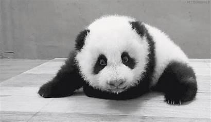 Panda Osos Gigante Oso Pandas Gifs Valentin