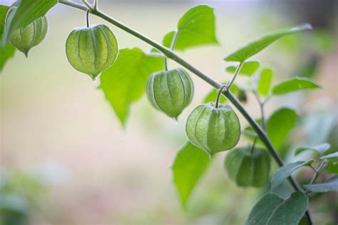 Physalis Im Garten Kultivieren » So Gelingt Der Anbau
