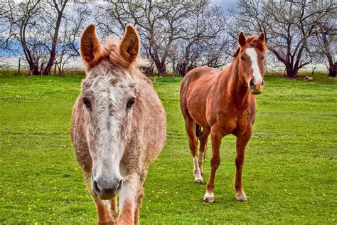 mule horse mules working pony remember