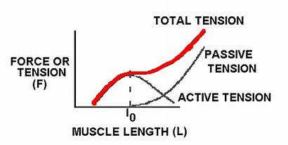 Tension Length Curve Muscle Questions Force Relationship