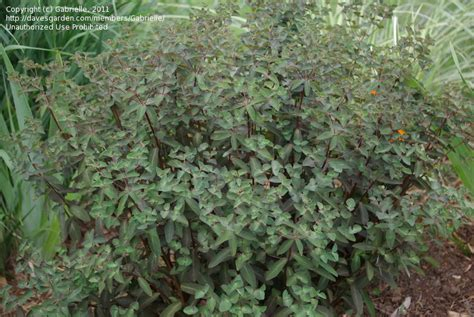 purple spurge plantfiles pictures euphorbia purple spurge chameleon euphorbia dulcis by victorgardener
