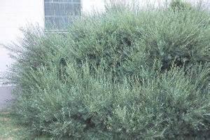 Salix Purpurea Nana Schneiden : plant detail willoway nurseries inc ~ Markanthonyermac.com Haus und Dekorationen