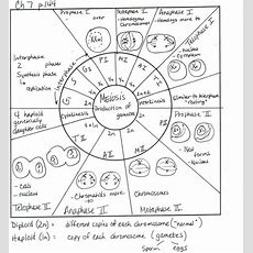 Comparing Mitosis And Meiosis Worksheet Name Instructions Doc  Biology  Pinterest Mitosis