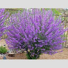 Tucson Bushes With Purple Flowers  Gardening Flowering