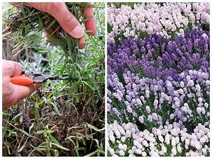 Pflege Von Lavendel : lavendel schneiden so geht es richtig tipps vom ~ Lizthompson.info Haus und Dekorationen