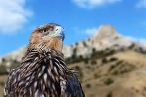 Golden Eagle Soaring