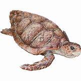 Hawaiian Sea Turtle Clipart   500 x 500 jpeg 89kB