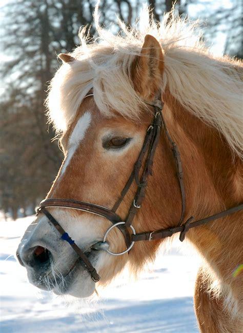 haflinger most horse animals horses