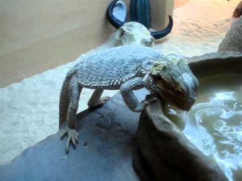 Teaching Our Baby Bearded Dragon How To Drink From A Water