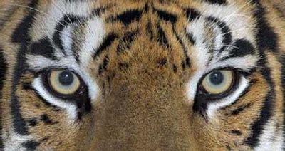 fakta tentang harimau  kabar dunia