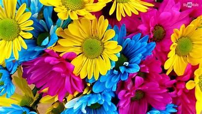 Daisy Desktop Gerbera Daisies Background Clipart Colorful