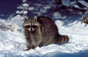 raccoon pictures pics images and photos for your