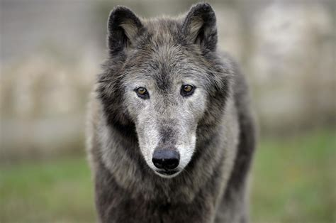 Real Wolves Face