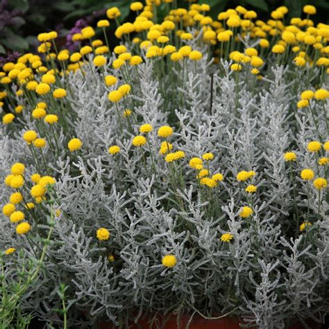 living furniture reviews buy cotton lavender santolina chamaecyparissus 12 99