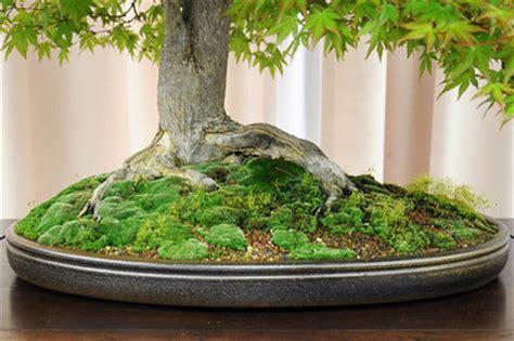 accompany  bonsai   moss bonsai outlet
