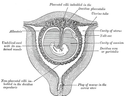 Uterine Lining Shedding After C Section by Decidua