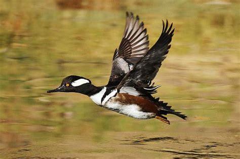 Hooded Merganser (Lophodytes cucullatus)   Pet ducks, Duck ...
