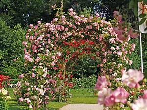 Rosier Grimpant Remontant : rosier liane remontant ~ Melissatoandfro.com Idées de Décoration