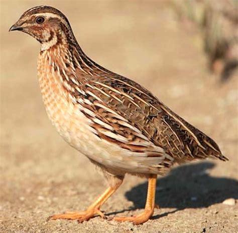quail farming  india information guide modern