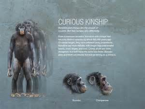 california manual bonobos curious kinship pictures more from national