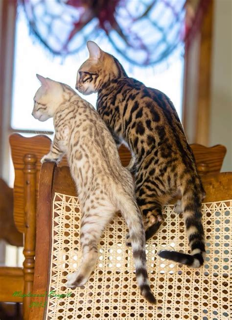 bengals colors interesting facts and beautiful photos of bengal cats