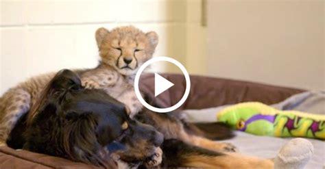 rescued pup raises baby animals   cincinnati zoo