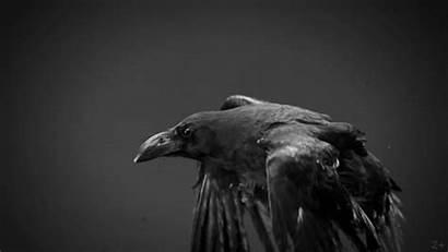 Raven Vulture Flying Bird Crazy Gifs Ravens