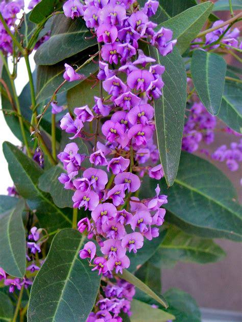 vine plant with purple flowers lilac vine