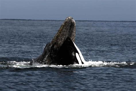 washington state tribes bid  reopen whale hunt stymied