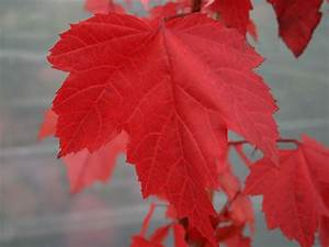 Ahorn Rote Blätter : rot ahorn acer rubrum baumschule horstmann ~ Eleganceandgraceweddings.com Haus und Dekorationen