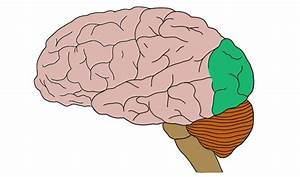 Brain Anatomy Flashcards