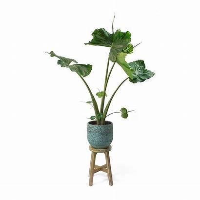 Stingray Plant Alocasia Elephant Ear Pot Evi