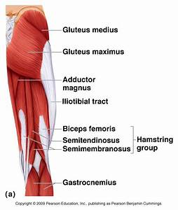Posterior Hip  U0026 Thigh Muscles