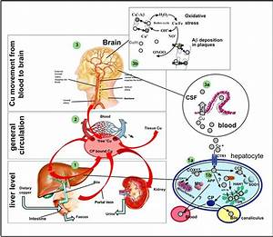 1  Liver Level  Copper Metabolism In Normal Condition  Copper Is