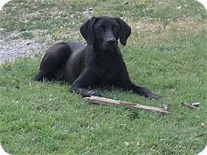 Sam Hill | Adopted Dog | Conway, NH | Weimaraner/Labrador ...