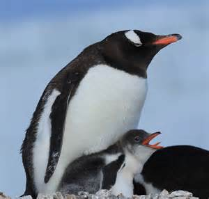 file gentoo penguin chick showing some tongue 6063097703