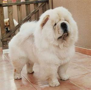 How To Train White Chow Chow?