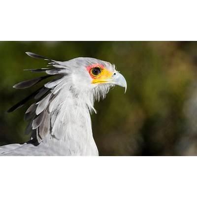 Secretary bird - Facts Diet & Habitat Information