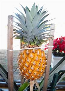 Plant D Ananas : i d like to grow a pineapple plant i understand i may even ~ Melissatoandfro.com Idées de Décoration