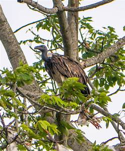 Slender-billed vulture - Wikipedia