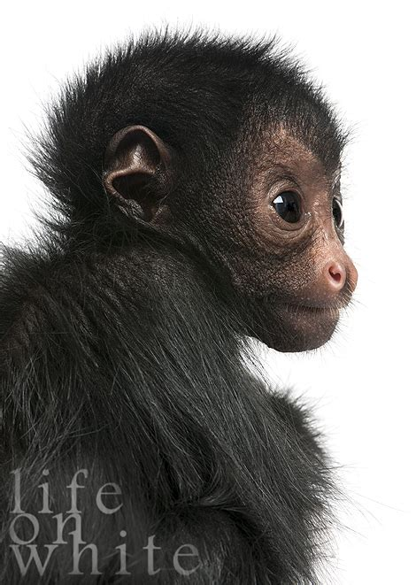 marvin  spider monkey meets life  white zooborns