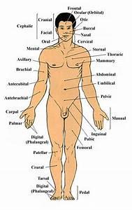 12 Best Anatomy  U0026 Physiology Images On Pinterest