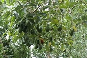 Avocado Baum Pflege : rock side inn avocadobaum im garten photo ~ Orissabook.com Haus und Dekorationen