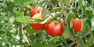 Planter Des Graines De Tomates : tomates cultiver et r colter des tomates au potager ~ Dailycaller-alerts.com Idées de Décoration