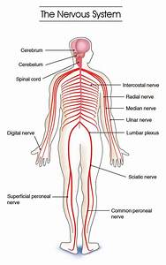 Labeled Diagram Of The Nervous System   Labeled Diagram Of
