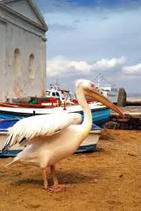 Mykonos Greece Pelican