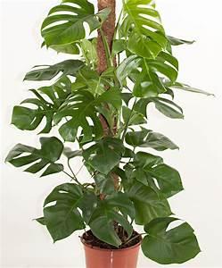 Plante Intérieur Grimpante : achetez maintenant une plante d int rieur monstera avec un support garni de mousse ~ Louise-bijoux.com Idées de Décoration